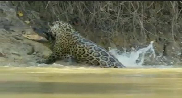 Video Langka, Macan Tutul Berburu Buaya