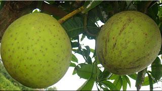 gambar buah kweni