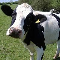 乳牛 : スーパーの買い物でも役...
