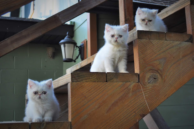Exotic Shorthairs And Persians In Idaho Kittens - Year of