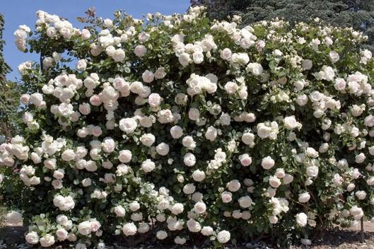Palais Royal сорт розы фото Минск