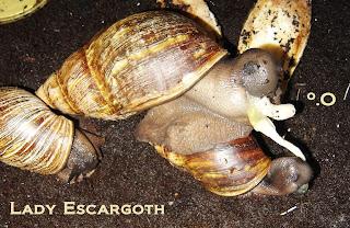 archachatina marginata reproduction