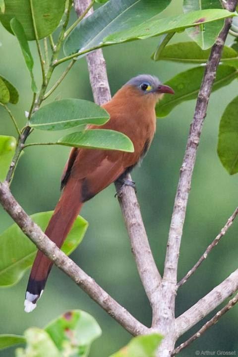 Cuco ardilla vientre negro: Piaya melanogaster