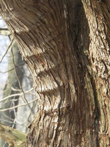 white cedar bark