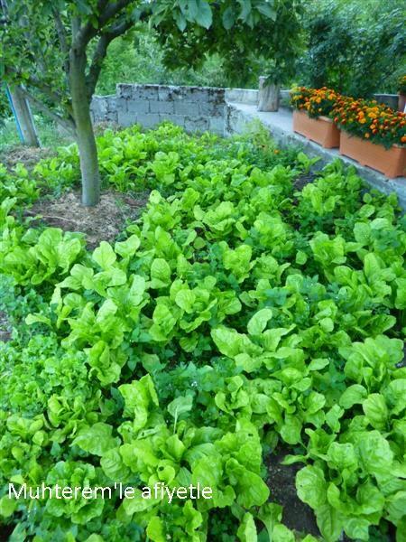chard garden