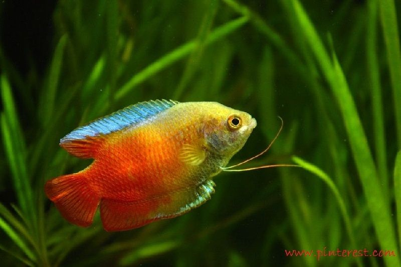 Ikan Aquascape yang Kuat - Gourami