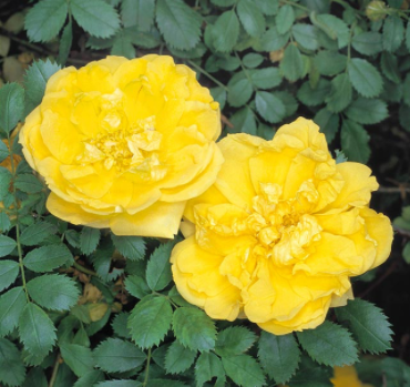 Rosa Fetida Perciana