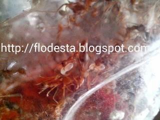 jaring sarang semut toples