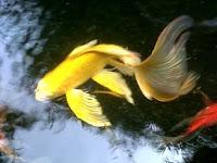 Tips dan Trik Budidaya Ikan Hias Komet Yang Menguntungkan