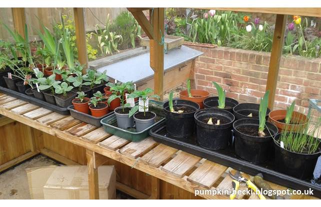 greenhouse bench April broad beans leeks iris peppers aubergine onion sets