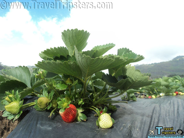 la trinidad strawberry farms