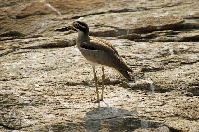 Great Stone-Curlew/Stone Plovers - Ranganathittu