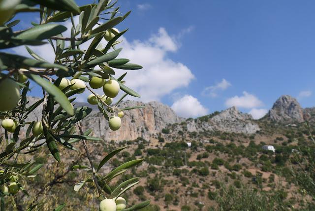 Olive trees El Chorro