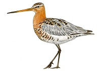https://www.xeno-canto.org/sounds/uploaded/ZNCDXTUOFL/XC246705-Rycyk_Limosa_limosa_Poland_Jarek_Matusiak_20140524_10.mp3