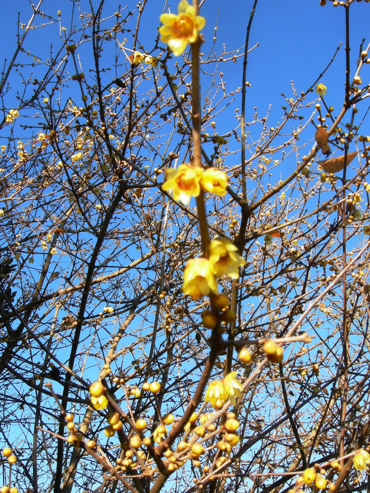 Calicanto Fiore D Inverno i dì protrar torpidi: calicanto - fiori d'inverno