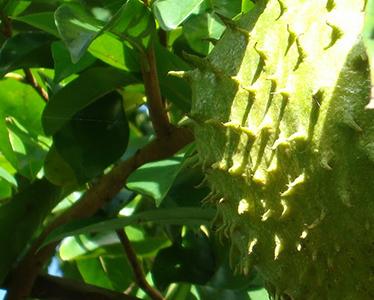 Graviola - biljka koja ubija rak