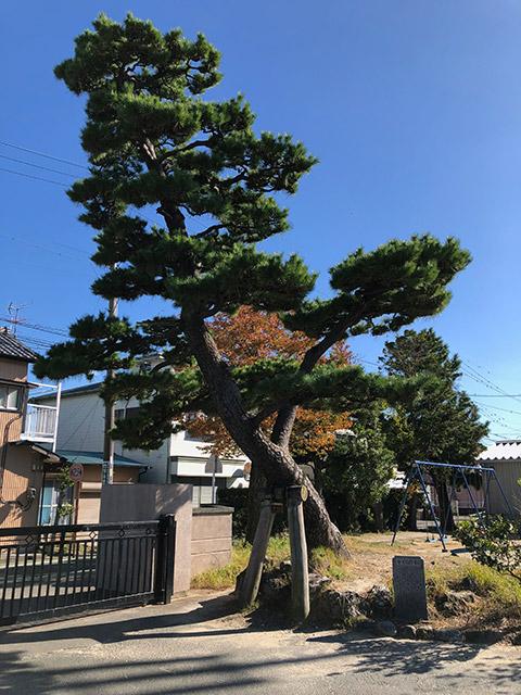 杉浦も目にしたであろう学校創立時に玄関に植えられていた千代の松は今も正門傍に見事な樹勢を誇っている(2019年11月15日撮影)