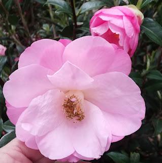 camellias 1
