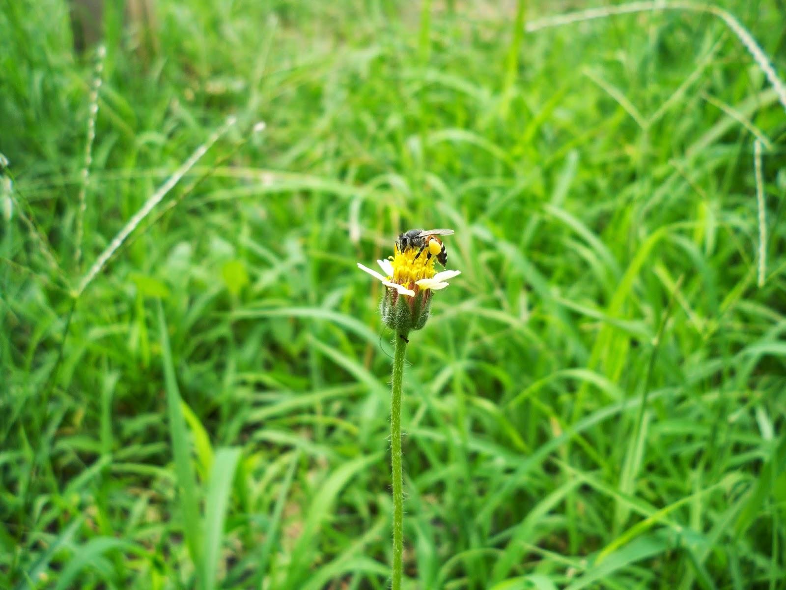 ต้นตีนตุ๊กแก(Coatbuttons, Mexican daisy) กับผึ้ง