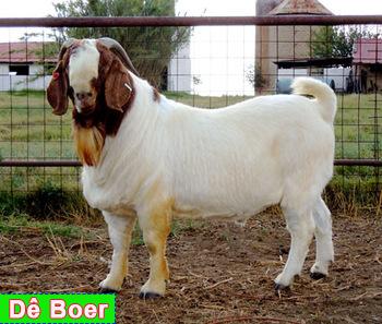 Dê Boer thuần
