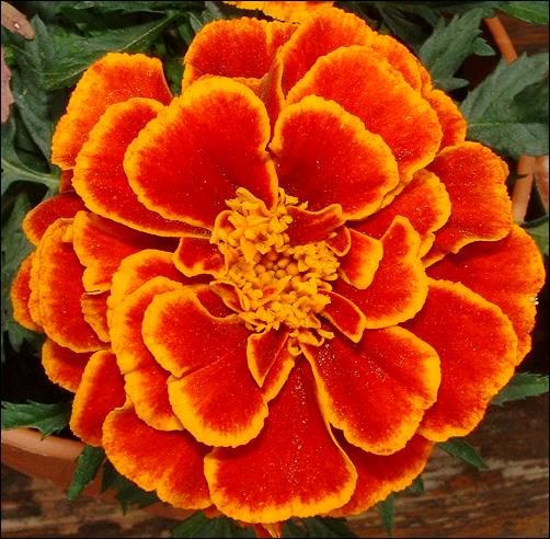 flowers for flower lovers.: Marigold flowers.
