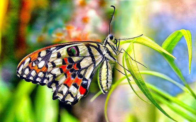 Gambar Kupu-kupu Cantik HD