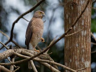 France`s Sparrowhawk