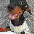 Sugar the Playful Dachshund