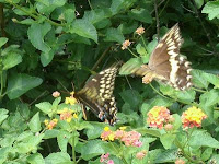 black tiger swallowtail mating rituals