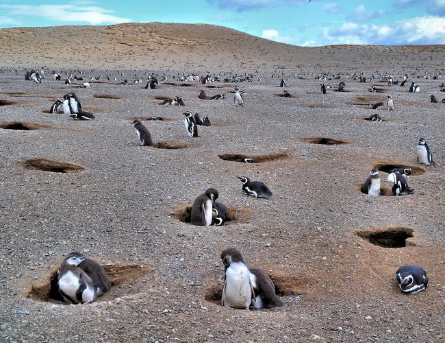 Xvlorr Los Pingüinos Natural Monument is the home islands of Magellan penguins