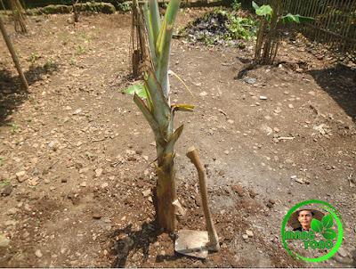 FOTO : Tanam pisang di kebun belakang rumah admin.