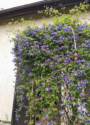 Клематисы уход весной подкормка