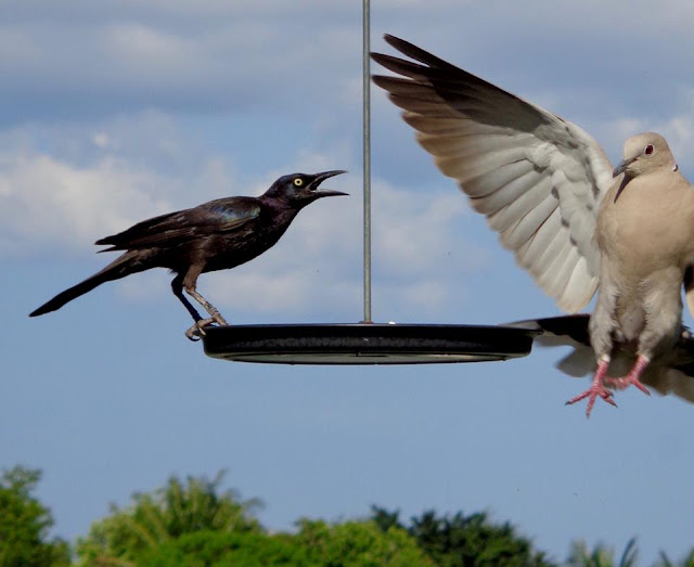 Brave Juvenile Grackle and Collared Dove