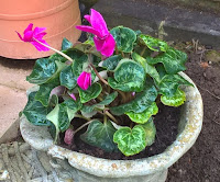 A garden boot with a vibrant flowering pink cyclamen