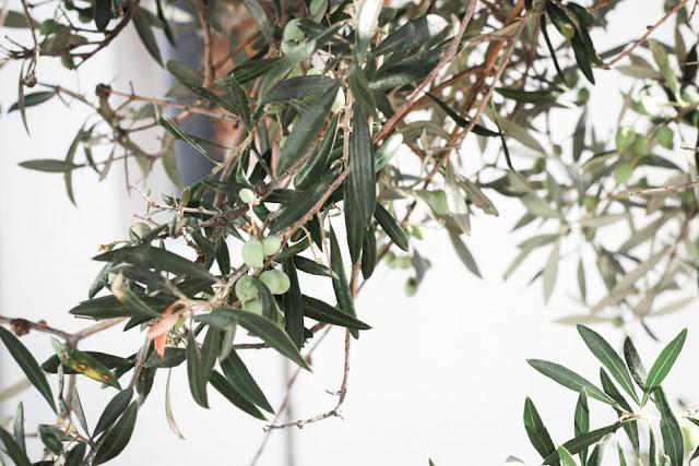 olivo, isla de milos, grecia
