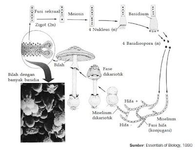 Klasifikasi Jamur atau Fungi yang Terdiri dari Zygomycota, Ascomycota dan Basidiomycota Beserta Contohnya