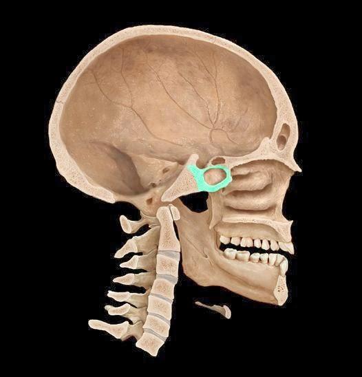 Тело клиновидной кости и сфеноидальный синус