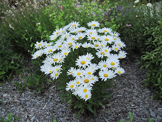 Pretty white flowers. I think they're daisies.
