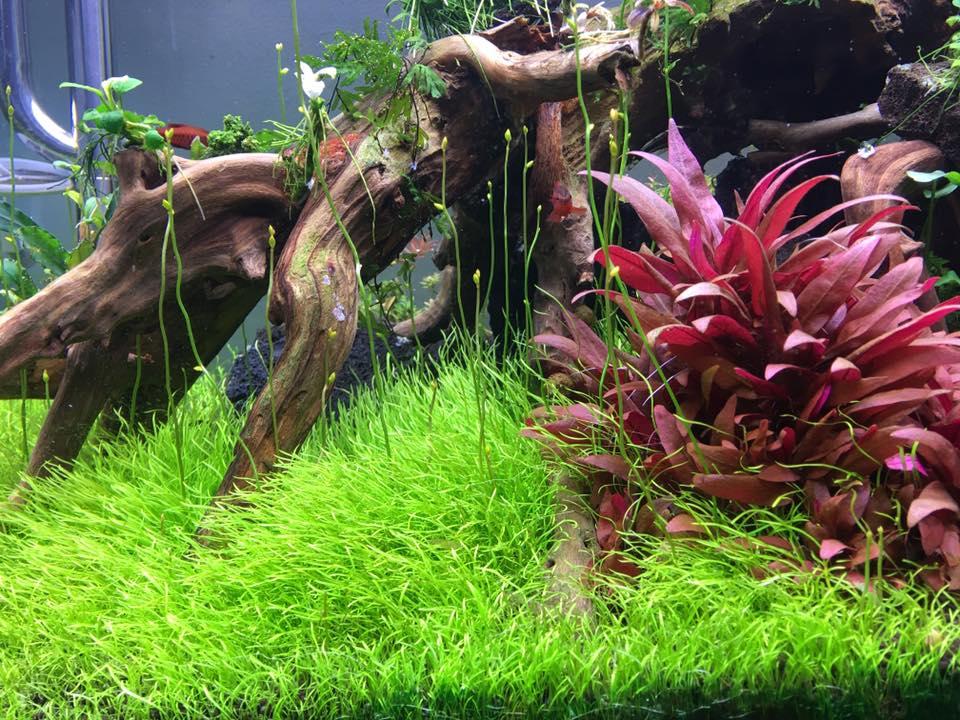 cây cỏ giấy trong hồ thủy sinh của Tiến Lê