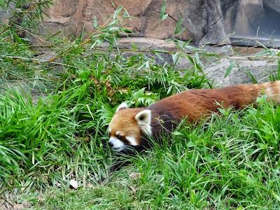 神戸市立王子動物園 レサーパンダ