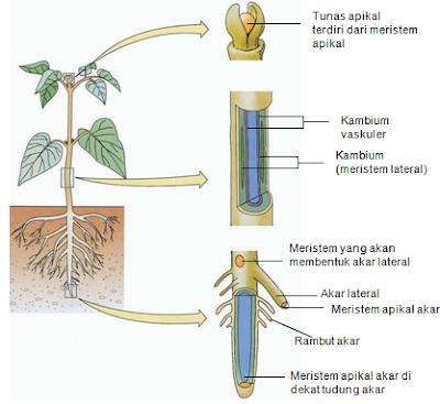 Fungsi Dan Struktur Jaringan Tumbuhan Lengkap Dengan Gambar