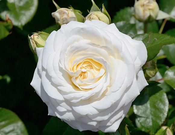 Ledreborg сорт розы фото Минск купить саженцы