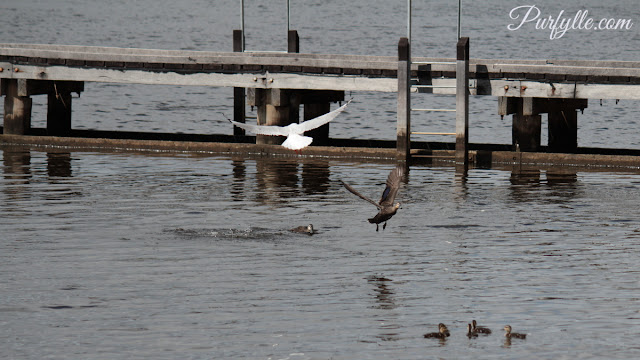 Seagull swoops in attracted by the noise of a duck fight thinks there might be some food to be found.
