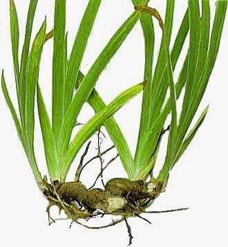 Reproduccion asexual de las plantas por rizomas