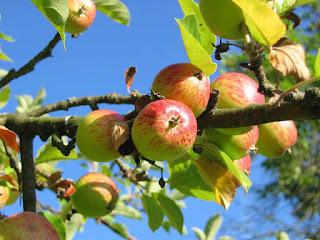 Gambar Pohon Apel