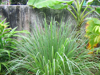 Mengenal Tanaman Serai Di Dapur Anda (Knowing Lemongrass Plant In Your Kitchen)