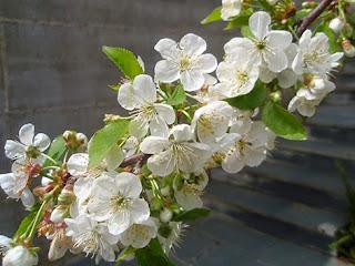 Flores del guindo