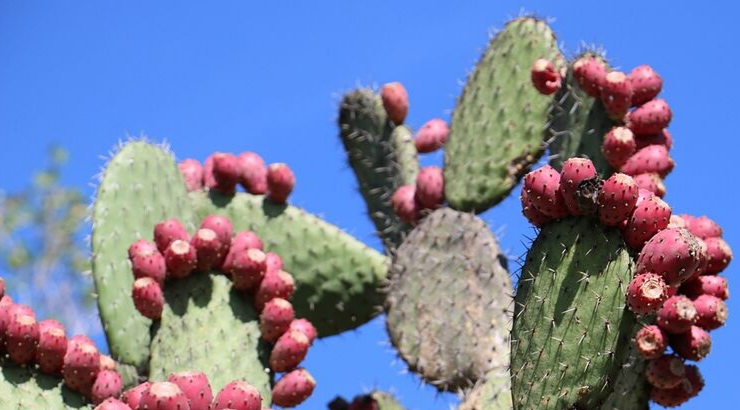 Mexican Inventors Created Organic Leather Alternative Based On Nopal Cactus