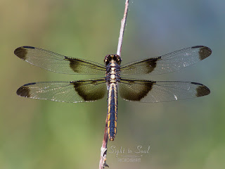 Female Widow Skimmer Dragonfly (Libellula luctuosa)