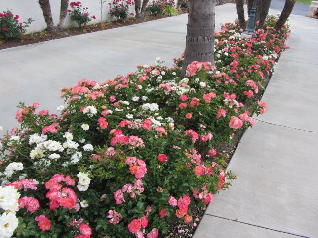 Drift groundcover roses are excellent to use in your landscape